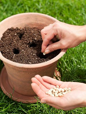 Vegetable Gardens pots:  Drop one or two seeds in each hole, then cover with a thin layer of potting soil. A faster option: Use your fingers to gently tease the roots apart before planting. This way the roots will be able to spread easily into the new soil. #vegetables #gardening #startingagarden