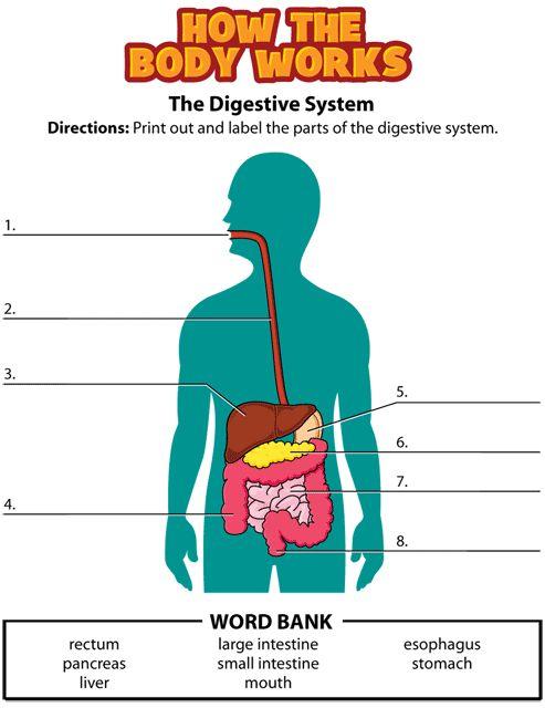 Digestive system worksheet   Lessons   Pinterest   Worksheets ...