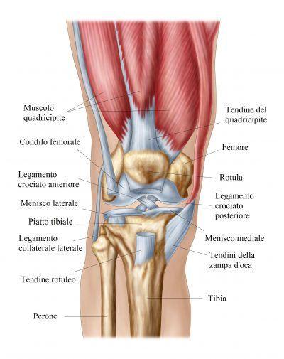 Rodilla Cuádriceps Ligamentos Meniscos Human Knee Body Muscle Anatomy Human Body Anatomy