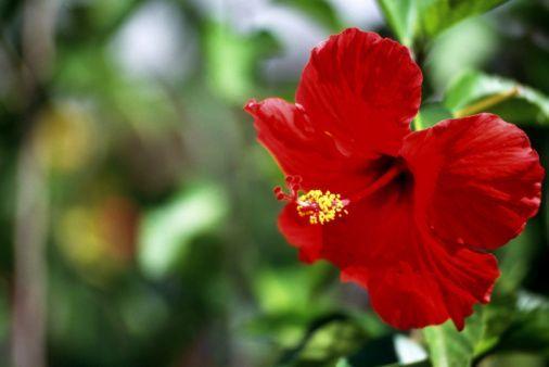 Morphology Of Hibiscus Rosa Sinensis Hibiscus Hibiscus Plant Hibiscus Bush Hardy Hibiscus