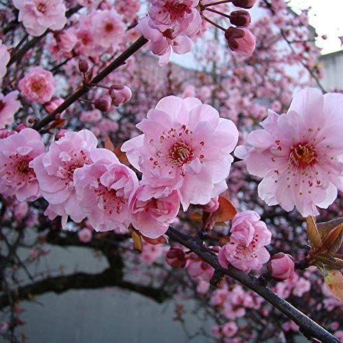 Flowering Plum Tree Ornamental Garden Tree 5 6ftprunus X Blireana Flowering Plum Tree Prunus Mume How To Attract Birds