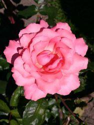 Edelrose 'Brinessa',VI-IX,halbschatten ok,90,starke duft,regenfest,