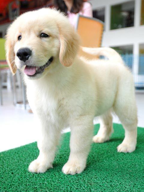 Anjingkita Com Jual Golden Retriever Jantan Anjing Golden Retriever Di 2020 Anak Anjing Anjing Chihuahua Anjing