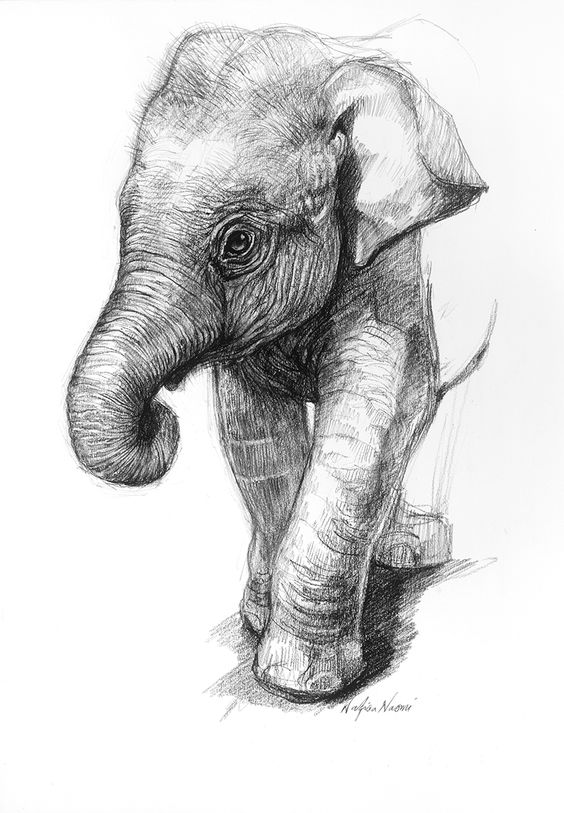 Pencil Drawings Of Baby Elephants Portrait