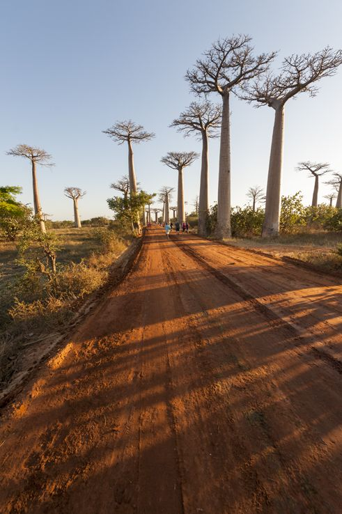 Madagascar Baobabs Avenue Long Road - love these photos from @Nickmargherita