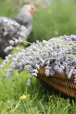 A Day in the Country...: How to Dry Lavender...
