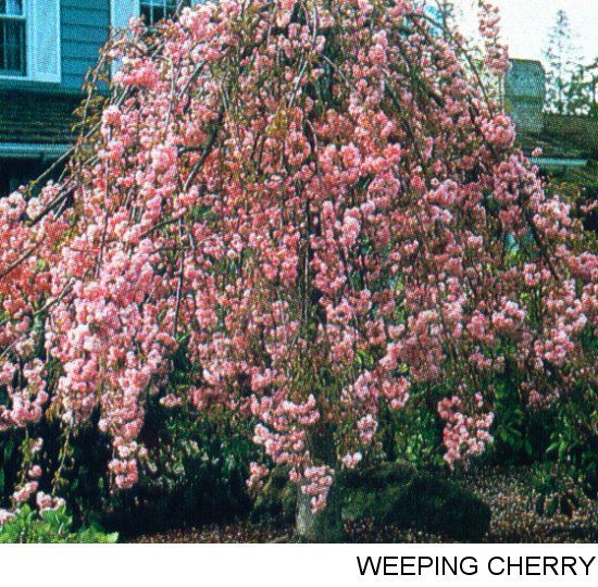 Trees popular and cherries on pinterest for Popular small trees