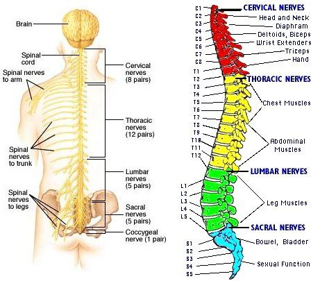 Labeled Skeletal System Diagram Anatoma El Aula Y Aula