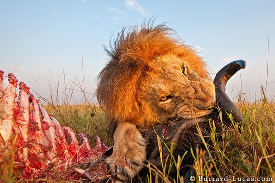 Technology and photography meet - a camera robot on wheels gets a closeup of a male lion eating a freshly killed wildebeest.