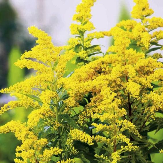 1 x SOLIDAGO Goldkind - 9cm Pot