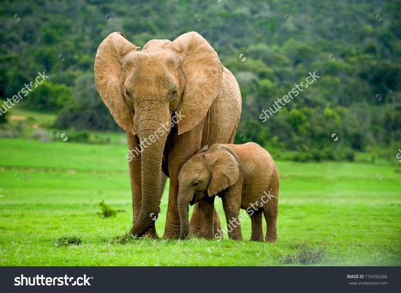 A Young Elephant Right Next To An Adult One. Foto Stock 176556266 : Shutterstock