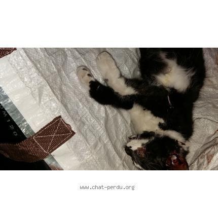 268525 Chat trouvé Trouvé chat, noir, blanc, femelle, poils courts, pelage tacheté. Trouvé le 13/09/2016 45190 BEAUGENCY (FR).