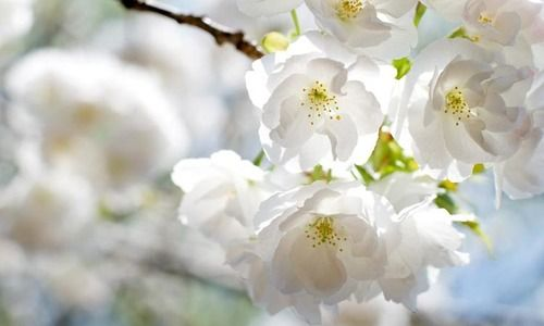 Prunus Avium Plena Wild Cherry Double Gean Prunus Avium Grandiflora Prunus Avium Flore Plena S Ornamental Cherry Flowering Cherry Tree Blossom Trees