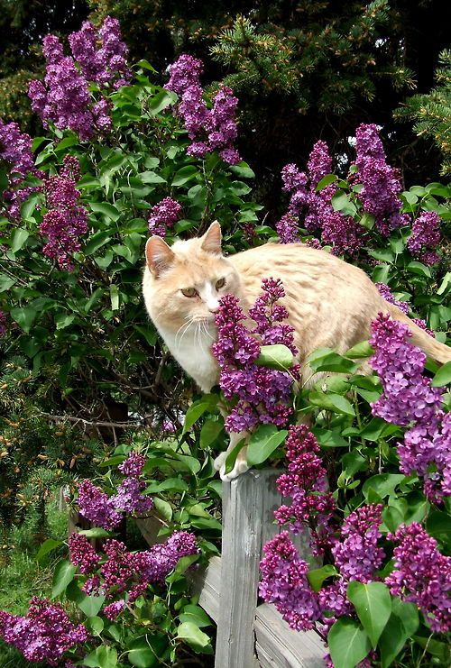 mostlycatsmostly.tumblr.com via Cat in the Lilacs by Christy Fleener @ myshutterspace.com