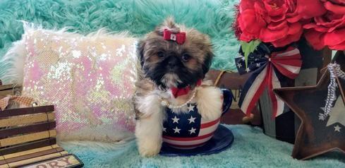 Shih Tzu Puppies Teacup Shih Tzu Shih Tzu For Sale Breeder Teacup Miniature Toy In 2020 Shih Tzu For Sale Teacup Shih Tzu Shih Tzu