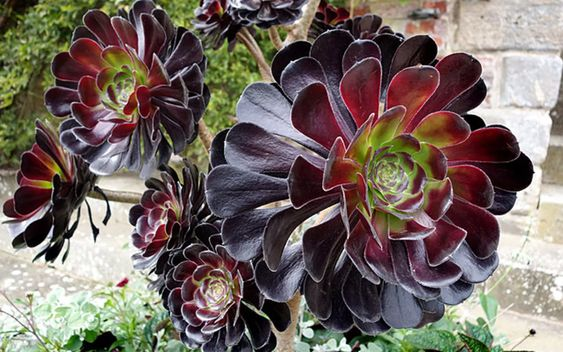 Purple Aeonium which has a rosette formation and leaves that are flat, round and thin.