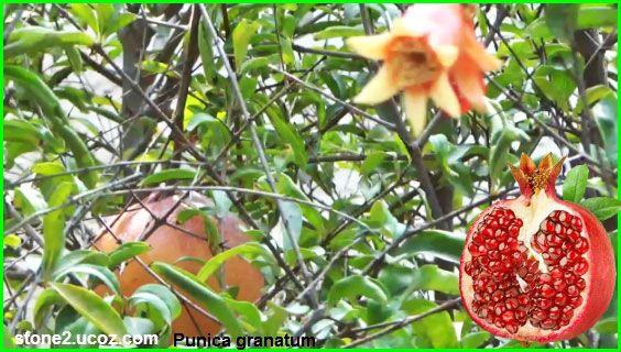 الفوائد الصحية لرمان والمعلومات الغذائية فوائد النبات فوائد معلومات نباتية وسمكية معلوماتية Fruit Strawberry