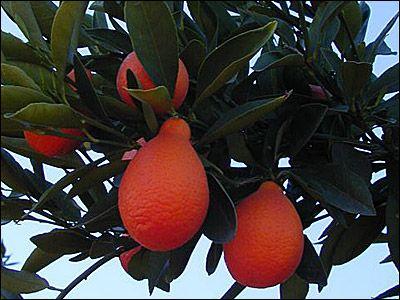 Indio Mandarinquat