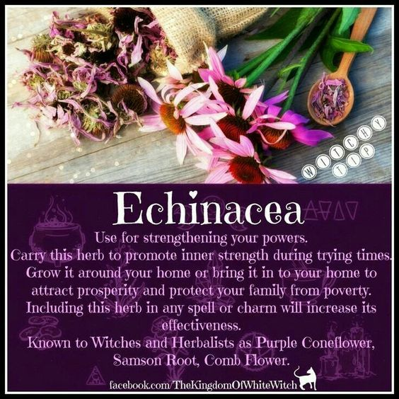 Echinacea Witches Of The Craft Magic Herbs Herbal Magic Herbalism