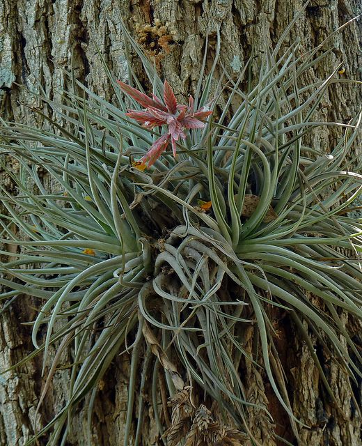 Air plant (Tillandsia sp.) one of a large group of epiphytes. In Yungus forest, Salta.
