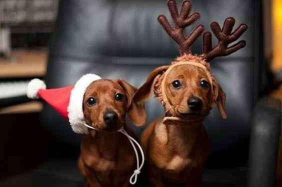 Omg so cute. .. love my dachshund