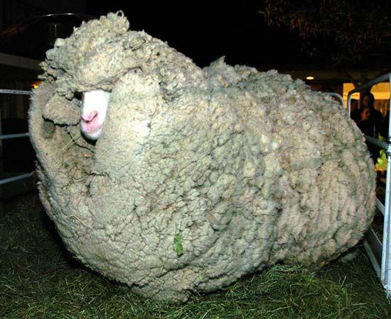 Morta Shrek, la pecora mai tosata per 7 anni