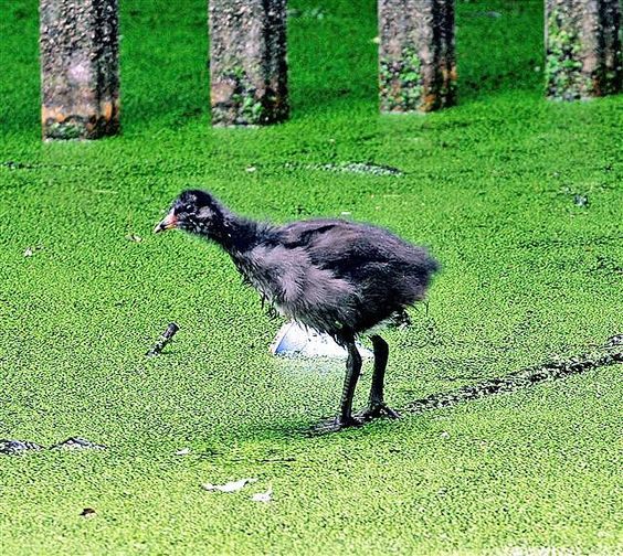 london young moorhen walking on pond