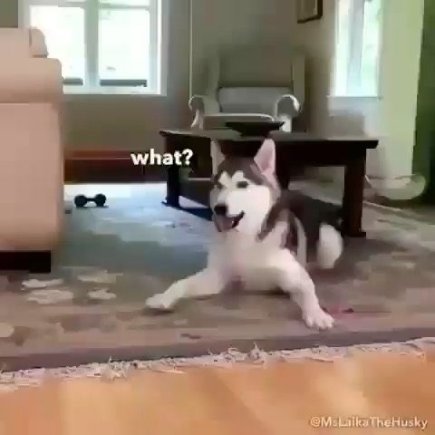 How To Prevent My Puppy From Biting Run Credit By Ms Laika Le Husky Please Like Our New Page Lnstagram Puppies Puppie Dogs Husky Pics Cute Dog Photos