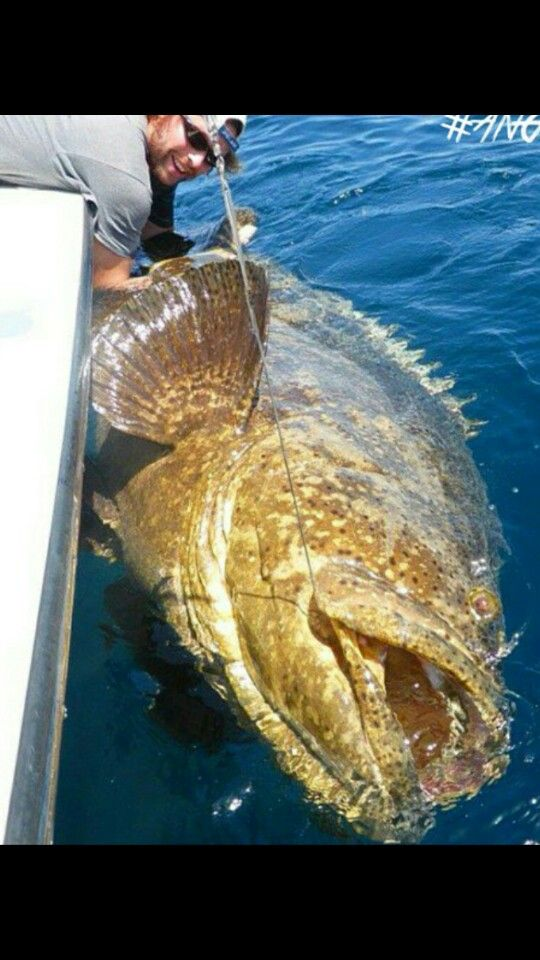Cow sons and fish on pinterest for Goliath grouper fish