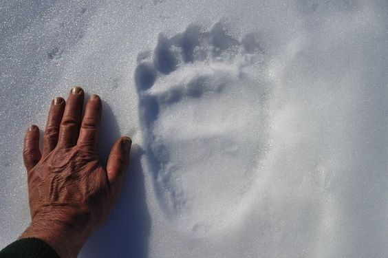 Bear footprint in the snow. Awesome!