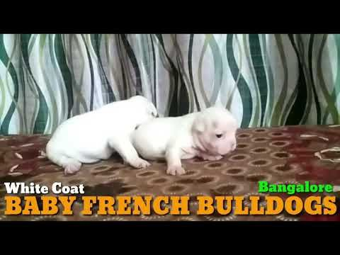 23 Feb 2020 Mr Prem Baby White Coat French Bulldog Puppies In Bangalore Karnataka Youtube In 2020 Bulldog Puppies Baby French Bulldog French Bulldog Puppies