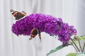 De prachtige bloemen van de vlinderstruik en de sering - Tallsay.com