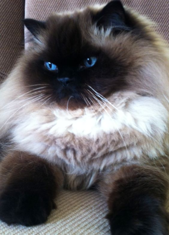 The Himalayan is the most beautiful cat I've ever seen. I'm a dog person, but this guy could change all that.  His markings combined with those eyes = too much.