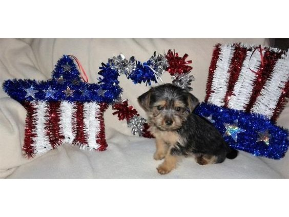 listing Micro Pocket Teacup Yorkie For Adoption is published on Free Classifieds USA online Ads - http://free-classifieds-usa.com/for-sale/animals/micro-pocket-teacup-yorkie-for-adoption_i36536