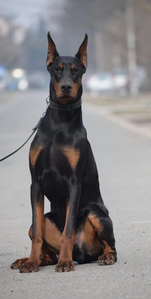 7 Months Old Viktor Puppy Coming Soon Pdw Excited Doberman