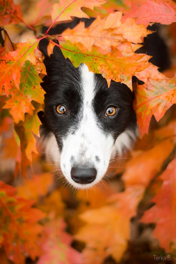'Surrounded by Leaves' by Terka Brožková on 500px. (Border Collie):