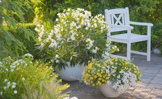 Schönwetterwolken-Weiß und Sonnengelb ergänzen sich herrlich an Sommer-Nachmittagen auf der Terrasse. Oleander, Elfenspiegel und gelbe Zauberglöckchen machen's möglich