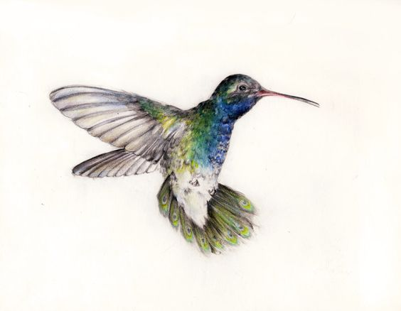 washington hummingbirds | Realistic Hummingbird Drawings ...