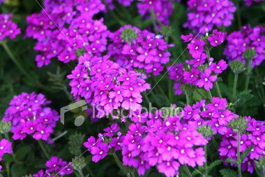 Blazing purple verbena