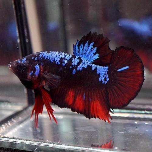 Newest Species Live Betta Fish Fancy Black Koi Blue Star Halfmoon Plakat 138