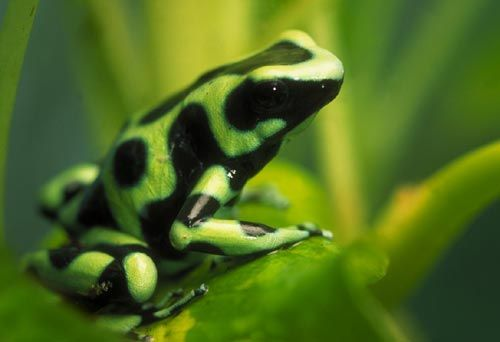 green-black frog