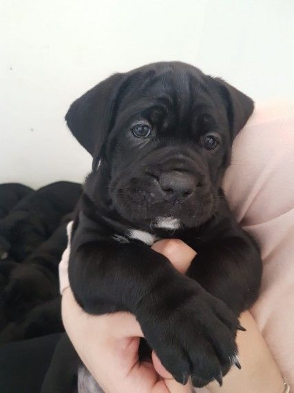 Kuwait Dogs And Puppies Adoption And Sales Email Us At Khaleelsalafi Hotmail Com Cane Corso With 5 Generation Pap In 2020 Cane Corso Cane Corso Dog Cane Corso Puppies