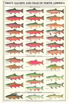 http://www.chartingnature.com/poster.cfm/trout-salmon-char-males-fish-poster/101