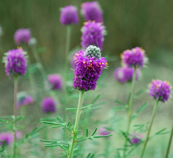 Native Purple Prairie Clover. Scarify seed with fine sandpaper.