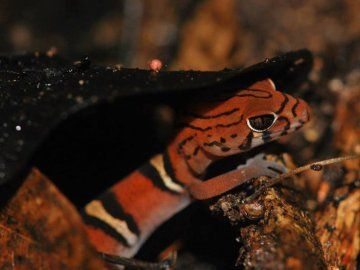 Yucatan banded gecko Guacamayas Biological Station