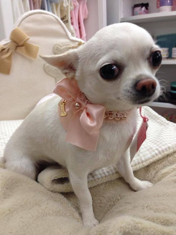 Chihuahua Chihuahua Love Chihuahua Puppies Baby Chihuahua