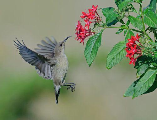 Palestine Sunbird. (Female) by yaki zander