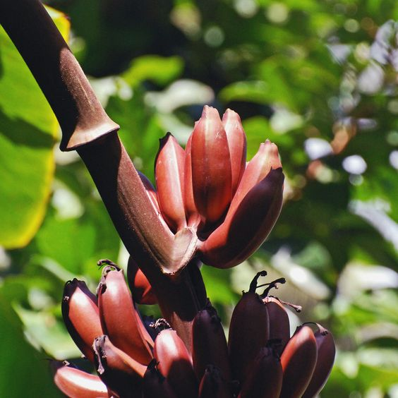 Musa Manii, Zwergbanane, 5 frische Samen, Tolle Blühte und Früchte !! de.picclick.com