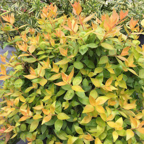 Funshine Abelia Grandiflora Foliage Plants Plants Tropical