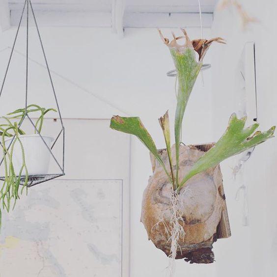 #ボタニカル#アプリ#greensnap  #ハンギング #コウモリラン #多肉#多肉植物#多肉バカ同盟 # #観葉植物 #ガーデニング #グリーンインテリア #園芸 #花部 #フラワー #花のある暮らし  #succulents #cactus#gardening #containergarden #flowerstagram #florist #greenthumb #greenlife #plants#containergarden#botanical#igersjp